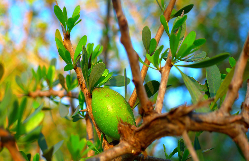 argan fruit on the argan tree